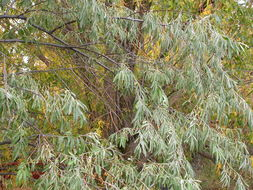 Image of Russian olive
