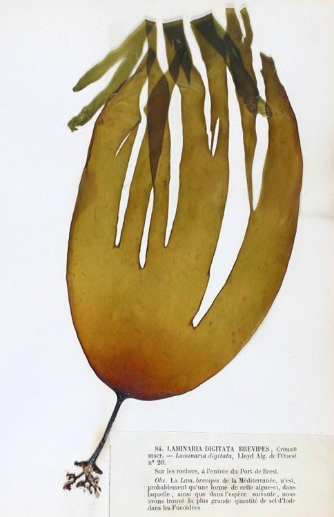 Image of <i>Laminaria digitata</i>