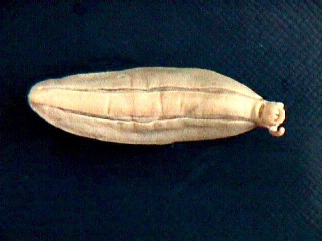 Image of <i>Diplosolenodes occidentalis</i>