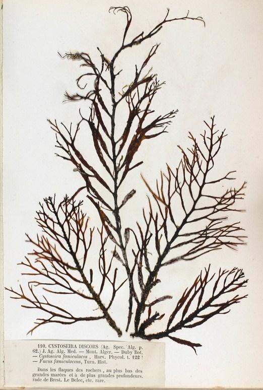 Image of <i>Cystoseira foeniculacea</i>