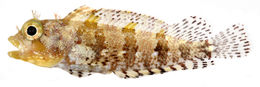 Image of <i>Labrisomus bucciferus</i> Poey 1868