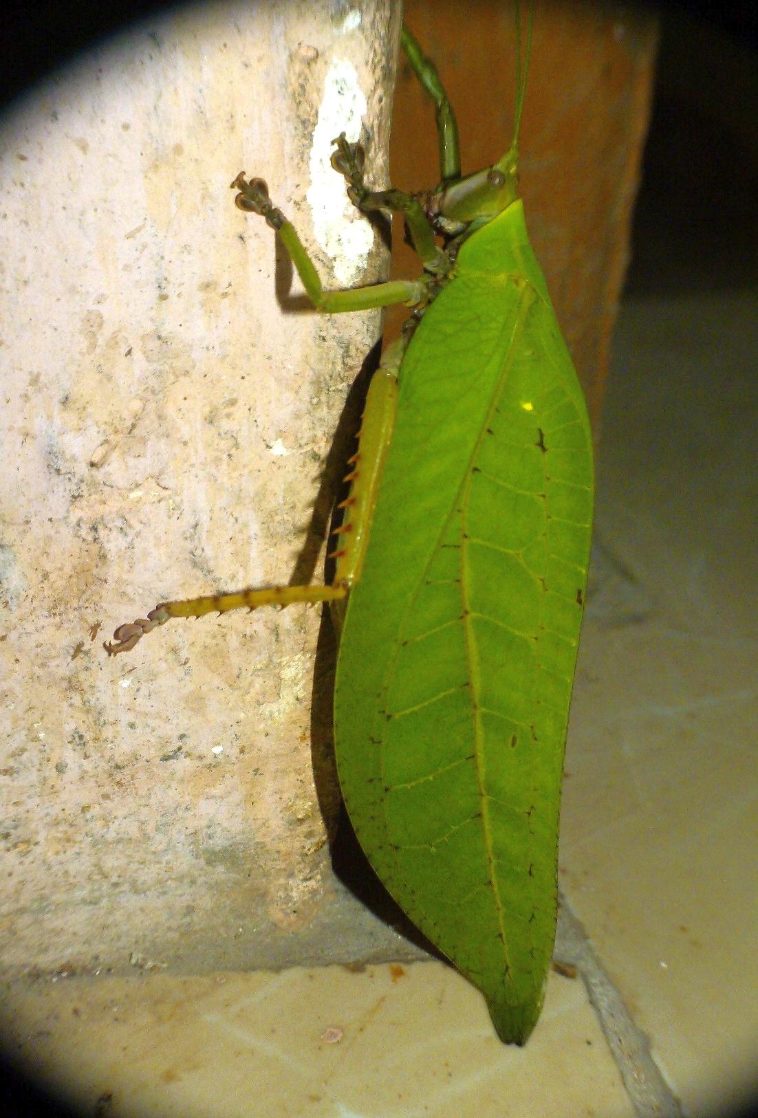 Image of Onomarchus