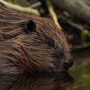 Image of european beaver, eurasian beaver
