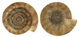 Image of rounded snail