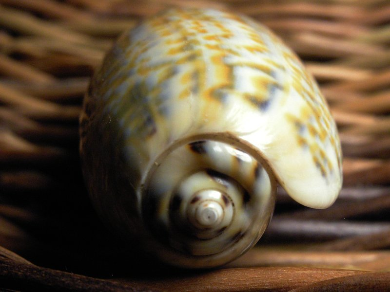 Image of Olive Shells