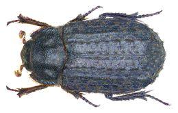 Image of Hide beetle