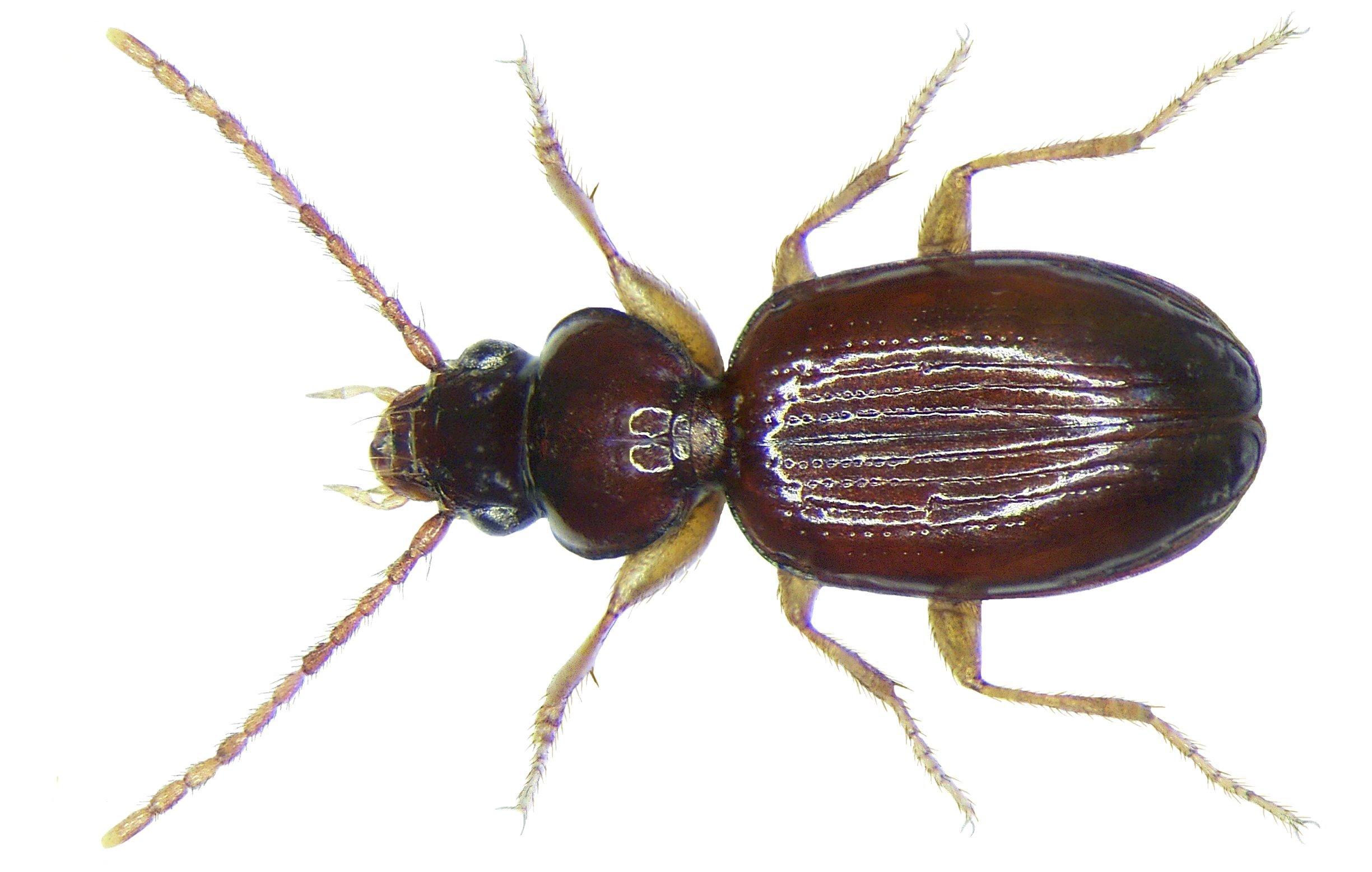 Image of <i>Trechus secalis</i>