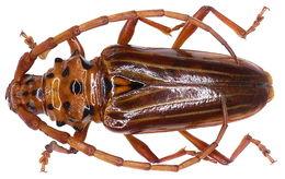 Image of <i>Chydarteres striatus</i> (Fabricius 1787)