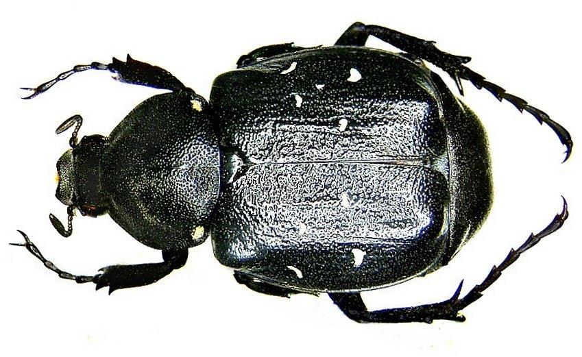 Image of <i>Gnorimus variabilis</i>