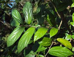Image of <i>Alangium salviifolium</i> (L. fil.) Wangerin
