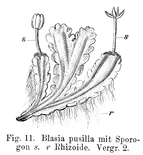 Image of Common Kettlewort