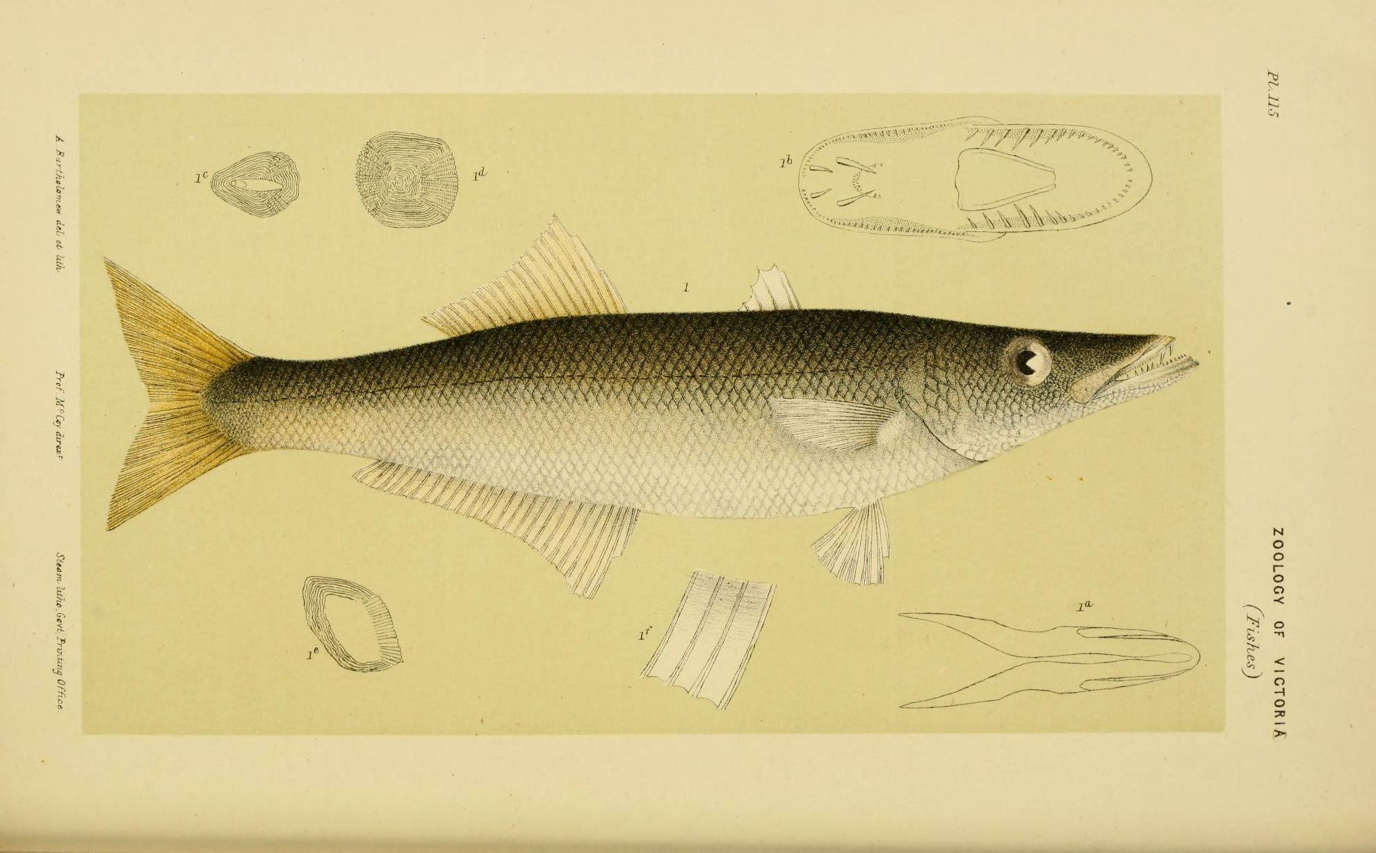 Image of Long-finned pike