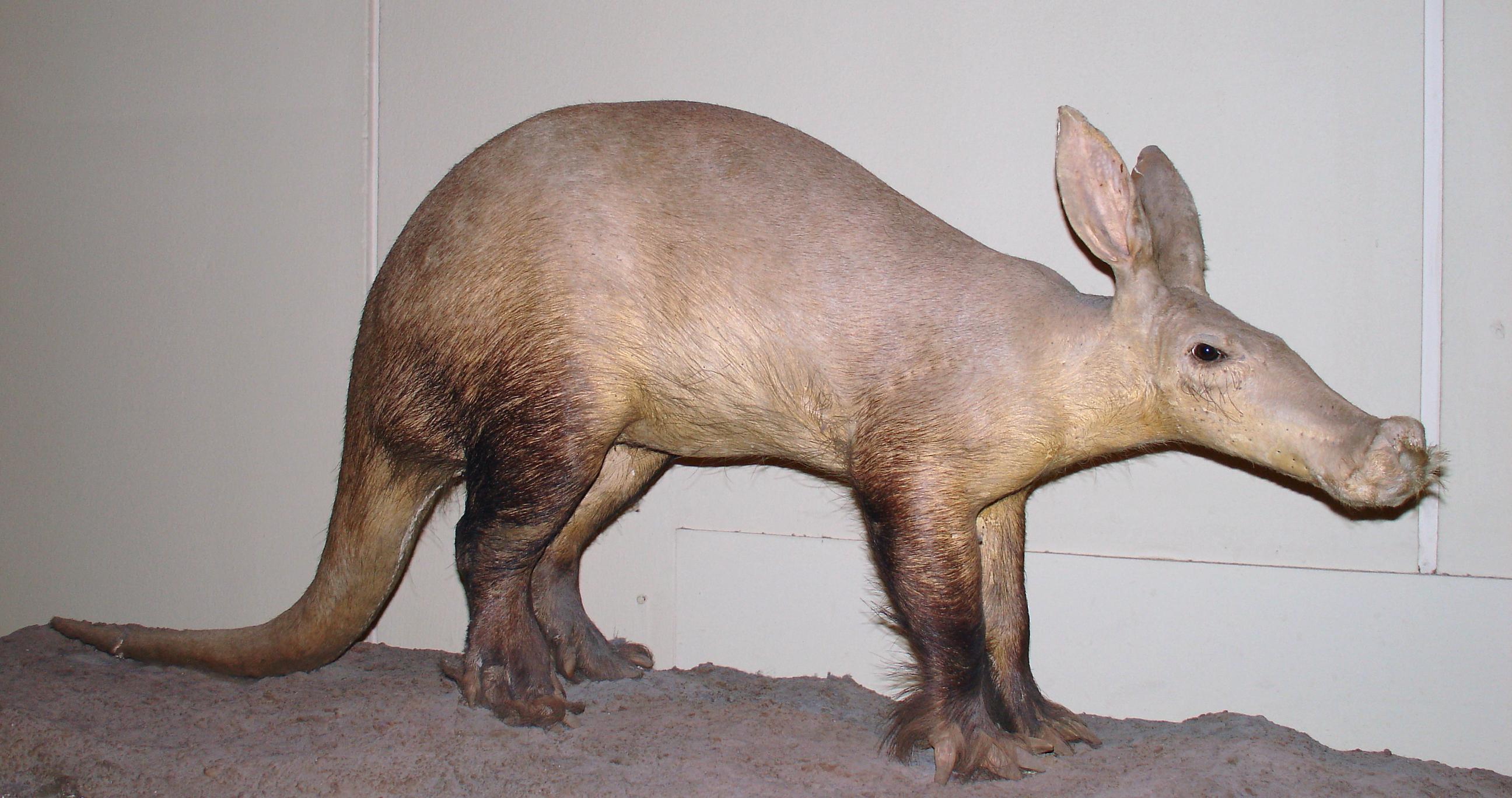 Image of aardvarks
