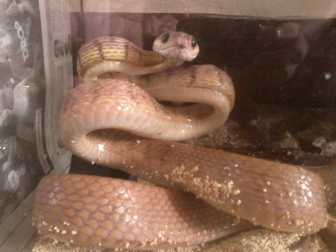 Image of Philippine Cat Snake