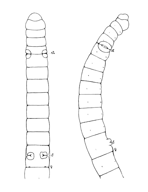 Image of <i>Mesenchytraeus solifugus</i>