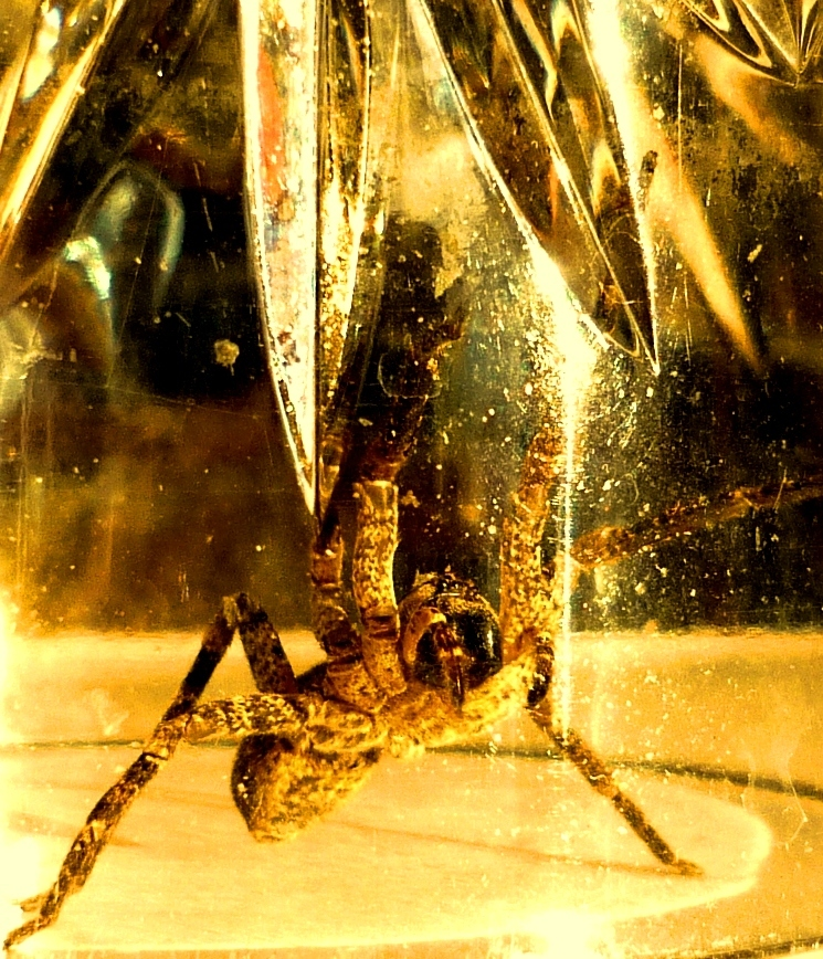 Image of Zoropsid spider