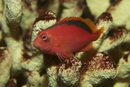 Image of Brilliant Red Hawkfish