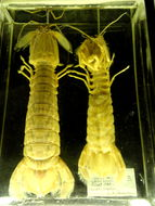 Image of Spot-tail mantis shrimp