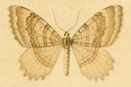 Image of <i>Triphosa sabaudiata</i> Duponchel 1831