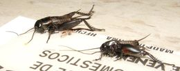 Image of Northern Wood Cricket