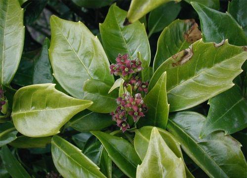 Image of Japanese laurel