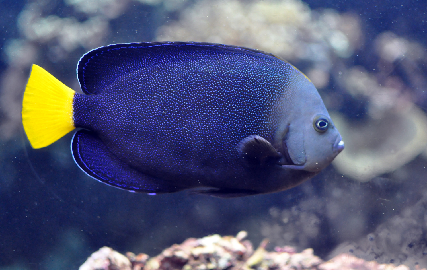 Image of Blue-spotted Angelfish