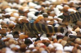 Image of Bengal loach