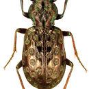 Image of <i>Elaphrus</i> (<i>Neoelaphrus</i>) <i>fuliginosus</i> Say 1830