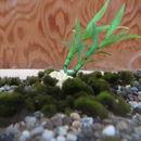 Image of Marimo (or ball seaweed)