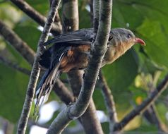 Image of Red-billed Malkoha