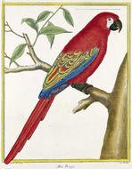 Image of <i>Ara guadeloupensis</i>