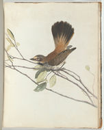 Image of Rufous Fantail