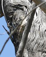 Image of Brown Treecreeper