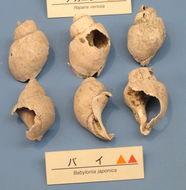 Image of <i>Babylonia japonica</i> (Reeve 1842)