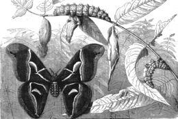 Image of Bombyx Linnaeus 1758