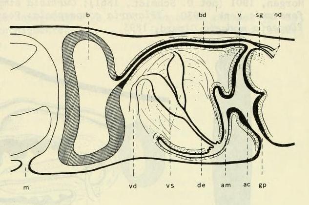 Image of <i>Dugesia tigrina</i> Girard