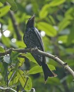 Image of Crow-billed Drongo