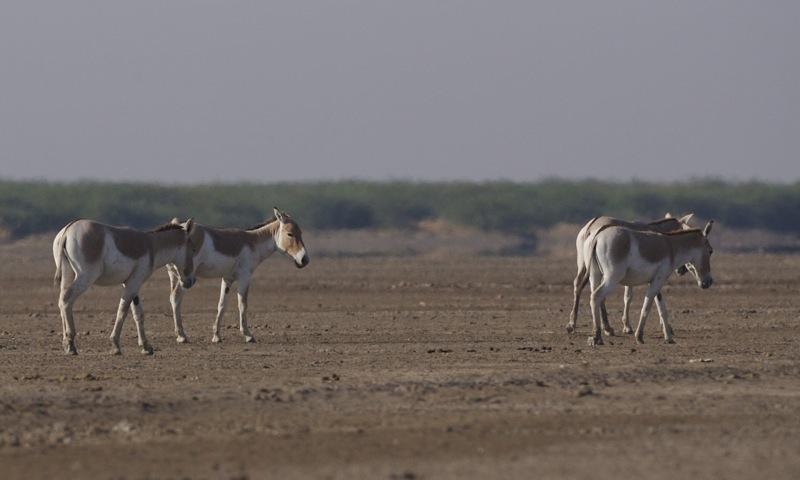 Image of <i>Equus hemionus khur</i>