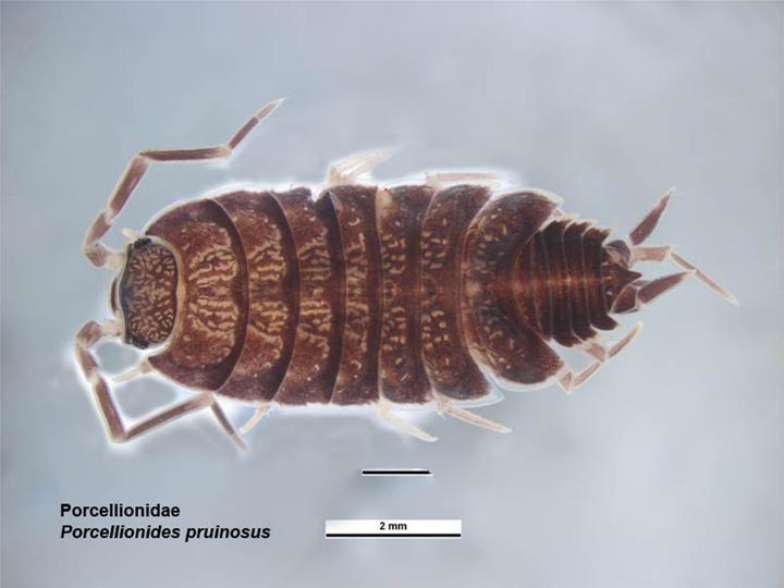 Image of <i>Porcellionides pruinosus</i> (Brandt 1833)