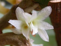 Image of fairy bentspur orchid