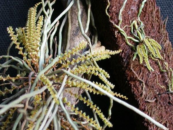 Image of <i>Campylocentrum grisebachii</i> Cogn.