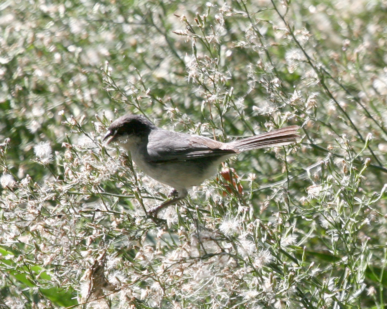 Image of Black-capped Warbling Finch