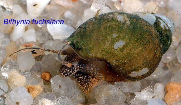 Image of <i>Bithynia fuchsiana</i> Moellendorff 1888