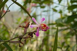 Image of <i>Sobralia dichotoma</i> Ruiz & Pav.