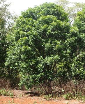 Image of <i>Atalaya salicifolia</i> (DC.) Bl.