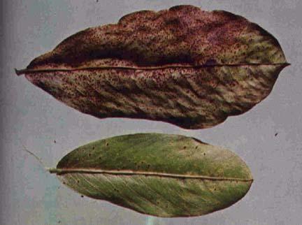 Image of <i>Puccinia arachidis</i> Speg. 1884