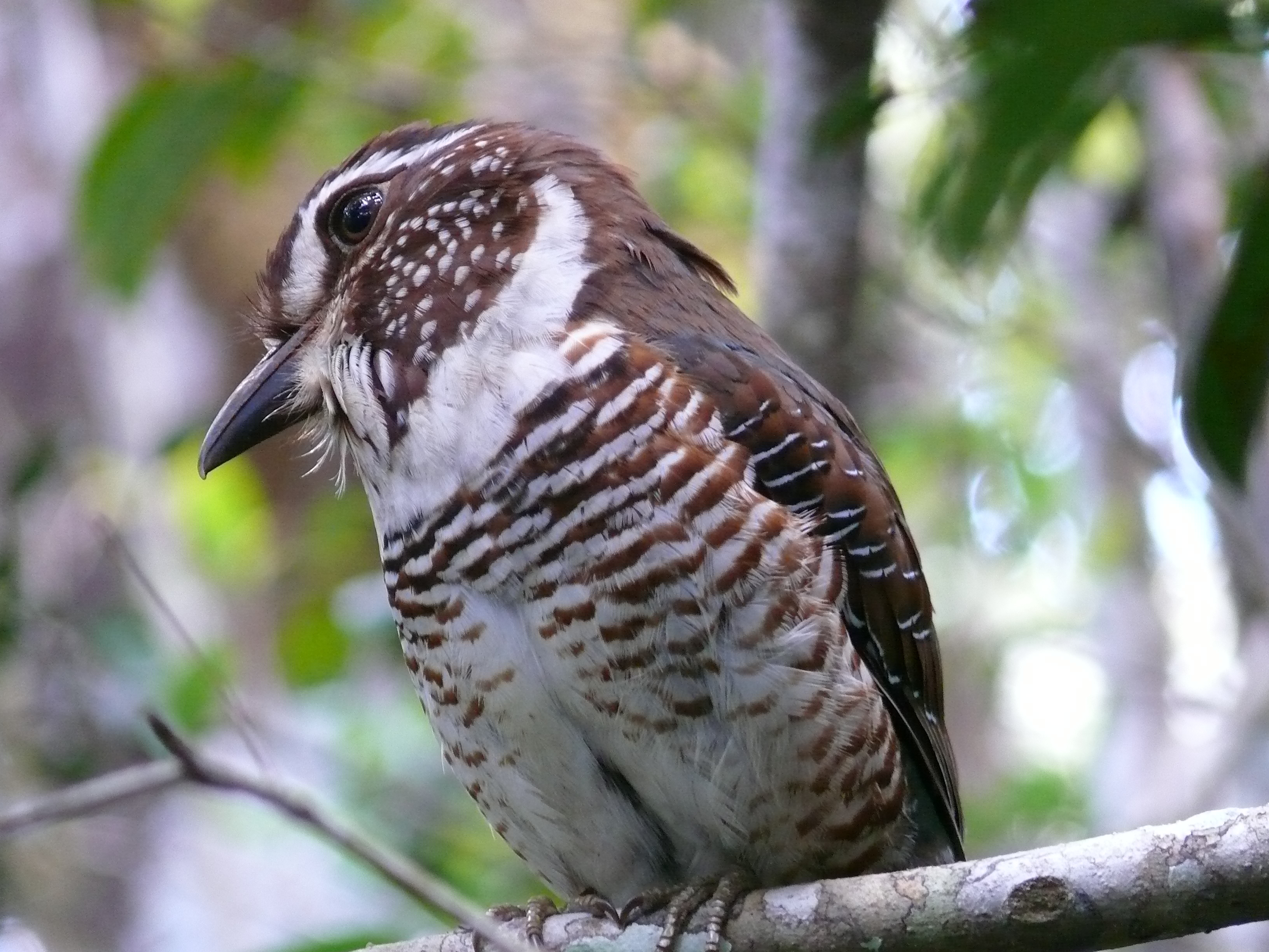 Image of Short-legged Ground Roller