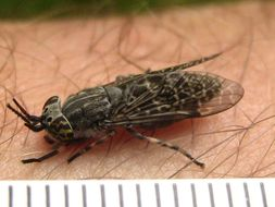 Image of Common Horse Fly