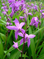 Image of Chinese ground orchid