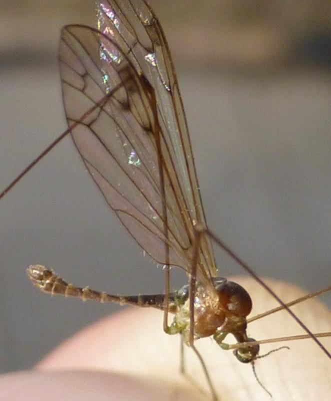 Image of <i><i>Dicranomyia</i></i> (Dicranomyia) <i>chorea</i> (Meigen 1818)